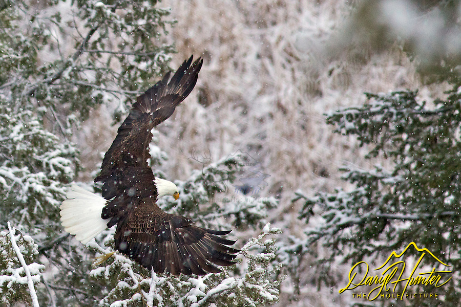 Flying Bald Eagle, Snow Storm, Idaho