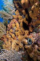 Sponge colony, Eleuthera, Bahama Islands