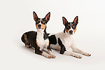 American Rat Terrier Dog, Pair laying down together, Studio, White Background