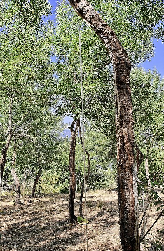 Castelbuono,  frassineto dell'azienda Gelardi..<br /> Castelbuono: wood ash in Gelardi's farm.