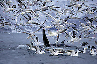 Killer whales, Orcinus orca, Carousel feeding on herring with gulls in a feeding frenzy. Stefjorden, Arctic Norway