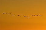 Geese at sunset, Shawnee Mission Park, Kansas