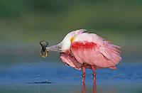 Roseate Spoonbill, Ajaia ajaja, adult preening, Welder Wildlife Refuge, Sinton, Texas, USA
