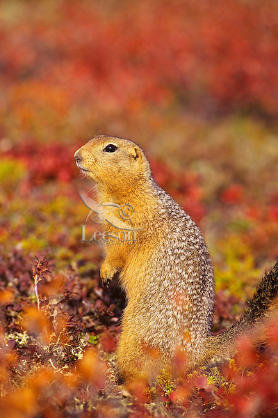 Arctic ground squirrel (Urocitellus parryii) surrounded by fall color.