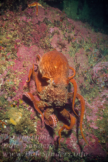 Giant Pacific Octopus (Octopus dolfleini) underwater in Browning Pass, off northern Vancouver Island, British Columbia, Canada.(Octopus dofleini) underwater in Barkley Sound on the west coast of Vancouver Island, British Columbia, Canada.