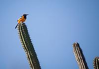 Coro_VEN, Venezuela...Parque Nacional dos Medanos de Coro no Estado Falcon, Venezuela. Na foto passaro pousado em um cacto. ..National Park Medanos de Coro in Falcon state, Venezuela. In the photo a bird perched on a cactus...Foto: JOAO MARCOS ROSA / NITRO.