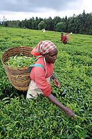 KENYA Limuru, Tigoni,  tea harvest, women pluck tea leaves / Kenia Tee Ernte Frauen pfluecken die Teeblaetter