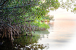 Red Mangroves, Rhizophora mangle, at daybreak Florida Keys National Marine Sanctuary, Key Largo, Florida