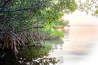 Red Mangroves, Rhizophora mangle, at daybreak Florida Keys National Marine Sanctuary, Key Largo, Florida