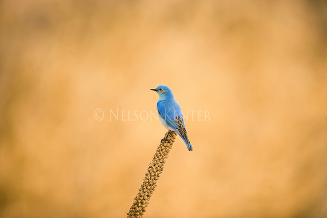 A Mountain Bluebird on a mullein plant in Montana