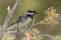 Black-throated Gray Warbler - Setophaga nigrescens - Adult male
