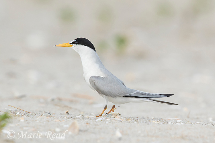 Least Tern (Sterna antillarum) adult in breeding plumage, Nickerson Beach, Long Island, New York, USA