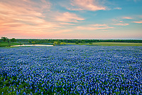 A field of Texas bluebonnets taken at dusk over a ranch with some pinks, orange in the sky. The sky reflected the colors in the sky in the water after the sunset. These bluebonnet wildflowers were wonderful this year they created a blanket of blue flowers in this field.
