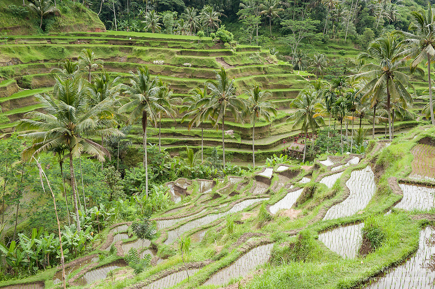 Bali, Indonesia; terraced rice fields in morning light