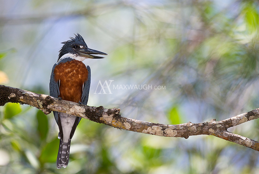 The large Ringed kingfisher looks a lot like North America's Belted Kingfisher.