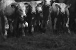 A herd of cows