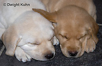 SH38-541z Lab Puppies - Genetic variation Yellow and White, 6 weeks old..