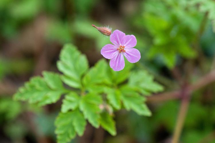Herb Robert (Geranium robertianum), East Sussex, early May.