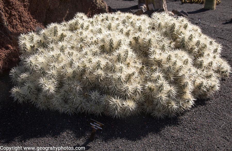 Cactaceae, Optunia Tunicata, from Mexico. Jardin de Cactus designed by César Manrique, Guatiza, Lanzarote, Canary Islands, Spain