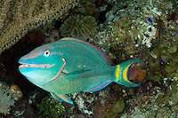 nr0615-D. Stoplight Parrotfish (Sparisoma viride). Belize, Caribbean Sea.<br /> Photo Copyright &copy; Brandon Cole. All rights reserved worldwide.  www.brandoncole.com