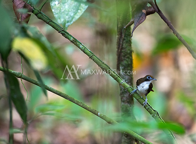 The bicolored antbird is a species I've seen a few times on the Osa Peninsula.