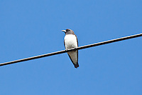 White-Breasted Woodswallow, Cairns, Queensland, Australia