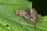 Polsterfliege, Paarung, Kopulation, Kopula, Polster-Fliege, Schmeißfliege, Pollenia spec., Calliphoridae, Schmeißfliegen, Fleischfliege, Fleischfliegen, cluster fly, Cluster flies, blowfly