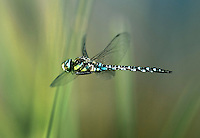 Migrant Hawker Dragonfly - Aeshna mixta - In flight