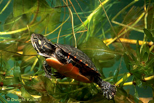 1R13-068z  Painted Turtle - young turtle swimming under water - Chrysemys picta