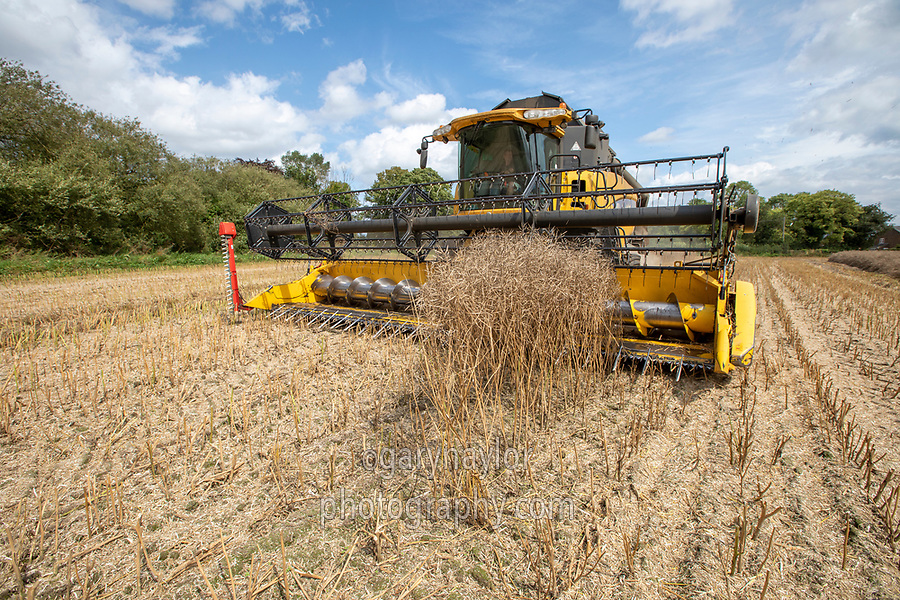 Harvesting oil seed rape - Lincolnshire, August
