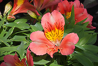Alstroemeria Little Miss Tara flower