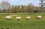 Golf course lets sheep onto their course for the first time by Kevin Milner