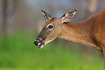 Closeup of a white-tailed doe in northern Wisconsin.
