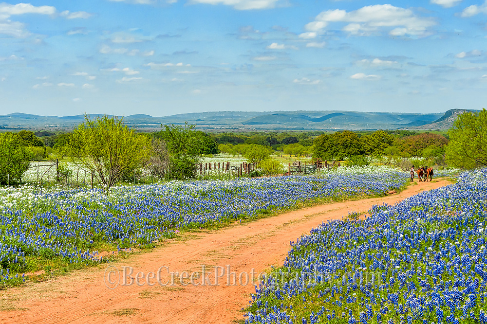 Here is another image we capture of this field of bluebonnets and poppies at the ranch with these cowboys coming in from their ride through the  Bluebonnet field were awsome this year with endless wildflowers everywhere,  This is Texas bluebonnets landscape with the wildflowers, cactus, mesquite and cowboys and along with their horses out for a day ride.