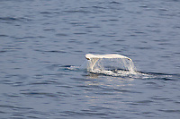 "humpback whale, Megaptera novaeangliae,  diving and raising fluke, a leucistic white whale, one of only 3 in the world and the only one in the Northern Hemisphere, named "" Snowflake "" back in 2004 when it was first spotted, Edgeoya, Svalbard, Norway, Barents sea, Arctic Ocean"