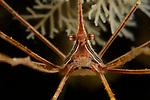 Arrow Crab 6-13-15-5661
