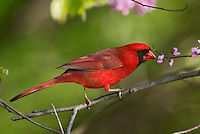 Male Northern Cardinal (Cardinalis cardinalis) in redbud tree.  Spring