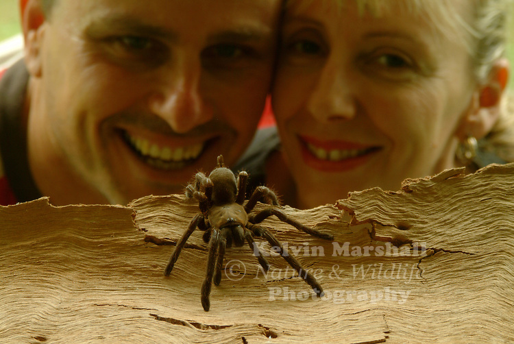 "The Australian Tarantula  (Selenocosmia  crassipes), also known as, the Barking spider, Bird-eating spider or Whistling spider, is a species of tarantula native to North Queensland, Australia.The Eastern tarantula has powerful long venomous fangs and can grow up to 6 centimetres (2.4 in) long with a leg span of 16 centimetres (6.3 in) or larger than the palm of a man's hand. It is recognized as the largest spider in Australia, Due to the hissing sound the spider makes, it has acquired the nickname ""Barking spider"".  They make a whistling sound if they are approached and feel threatened, hence the name ""Whistling spider""."
