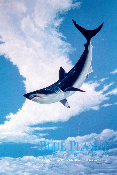 shortfin mako shark, Isurus oxyrinchus, jumping, leaping, breaching, illustration