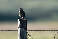 A western meadowlark perched on a fence post on the American Prairie Reserve near Malta, Montana.