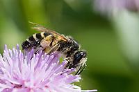 Rainfarn-Herbstsandbiene, Herbstsandbiene, Sandbiene, Weibchen, Andrena denticulata, Grey-banded Mining bee, Andrenidae, Sandbienen, female, mining bees, burrowing bees, mining bee, burrowing bee, Blütenbesuch