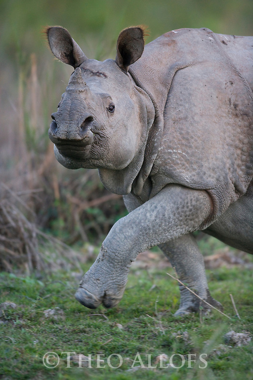 India, Kaziranga National Park, Indian rhinoceros or Great One-horned Rhinoceros or the Asian One-horned Rhinoceros (Rhinoceros unicornis) walking in meadow;<br /> Found in Nepal and in Assam, India. It is confined to the tall grasslands and forests in the foothills of the Himalayas
