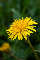 Macro photograph of a dandelion flower (Taraxacum officinale).