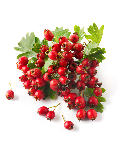Fresh picked berries from a Crataegus bush,  commonly called hawthorn, thornapple, May-tree, whitethorn, or hawberry against a white background