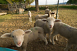 Leppy lambs (orphans) at the Dufurrena Ranch