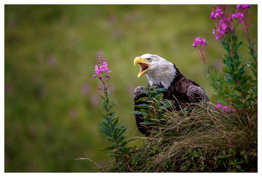 Bald eagle on grass amonst fireweed along coast at Dutch Harbor / Unalaska August 2016<br /> <br /> Photo by Jeff Schultz/SchultzPhoto.com  (C) 2016  ALL RIGHTS RESVERVED