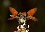 Portrait of Large Skipper Butterfly, Ochlodes venatus, orange, wings, antennae, eyes, fluffy, Provence.France....
