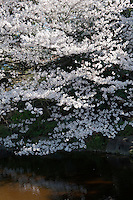 A cherry blossom tree in full bloom on the banks of the lake at Higashi-Gyoen, the East Gardens of the Imperial Palace