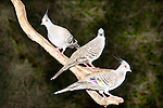 Three Crested Pigeons perch near a bird feeder awaiting the arrival of food. // Crested Pigeon - Columbidae: Ocyphaps lophotes. Length to 34cm, wingspan to 60cm, weight to NNg. Widespread throughout arid areas of Australia, now extending range coastwards and found in suburbs of some of the larger cities. Primary feathers are modified in shape to produce a distinctive whistling sound when taking off, especially if surprised by a predator.  //