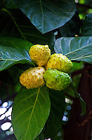 Close up of noni fruit, a Hawaiian medicinal plant
